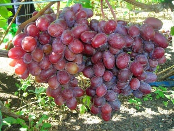 Сорт винограда фаворит фото и описание