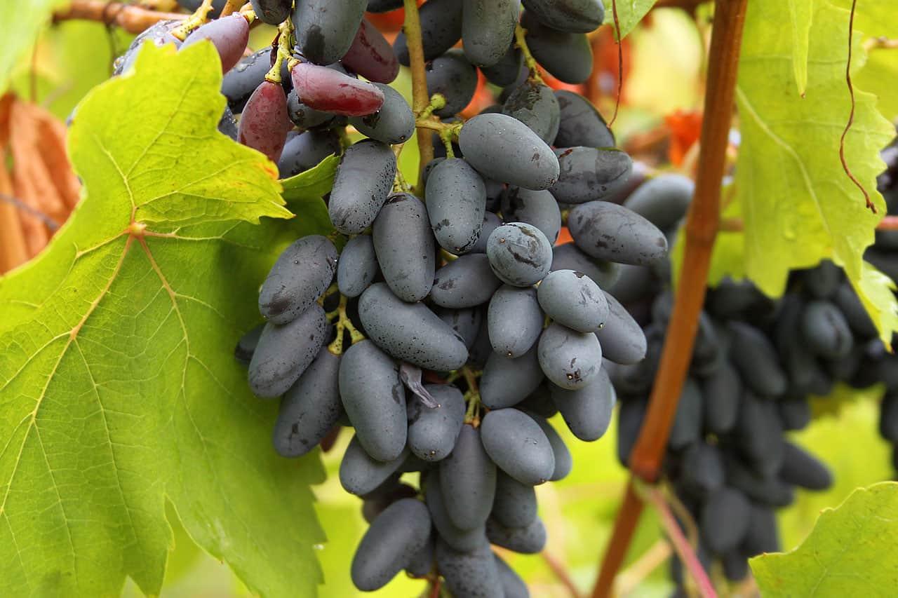 Виноград памяти негруля обрезка