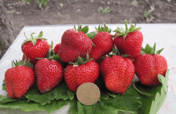 Особенности выращивания клубники сорта Вима Тарда