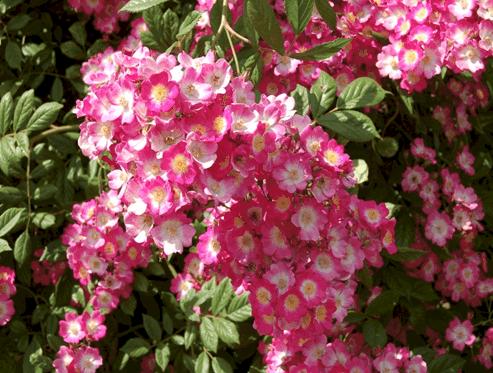 Лучшие сорта мускусных роз