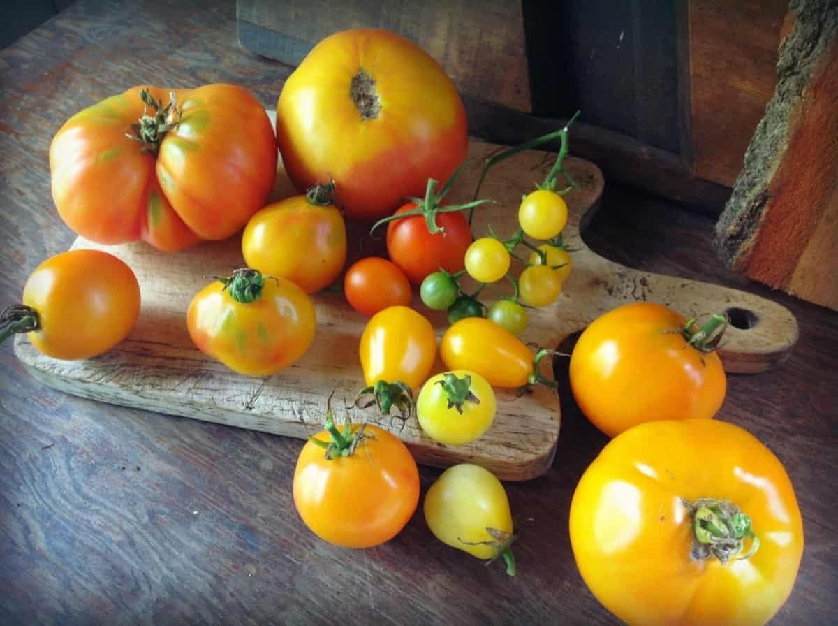 Голландские семена томатов для теплиц и открытого грунта: лучшие сорта с фото