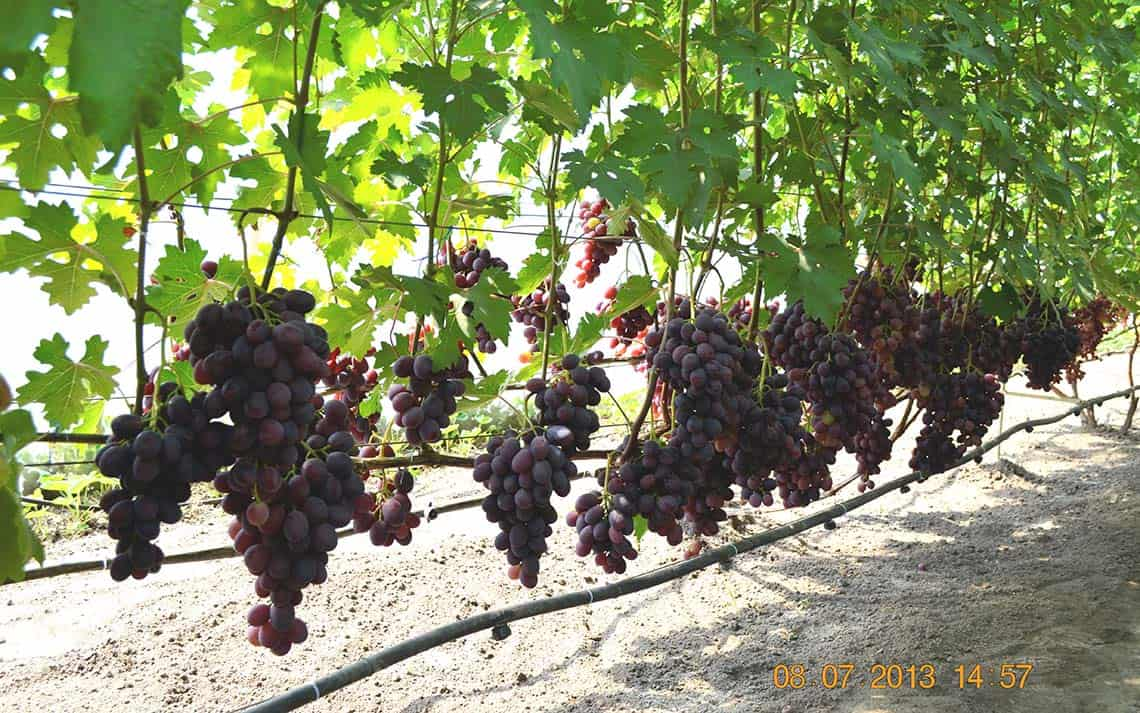 Сорт винограда Заря Несветая описание и характеристика с фото