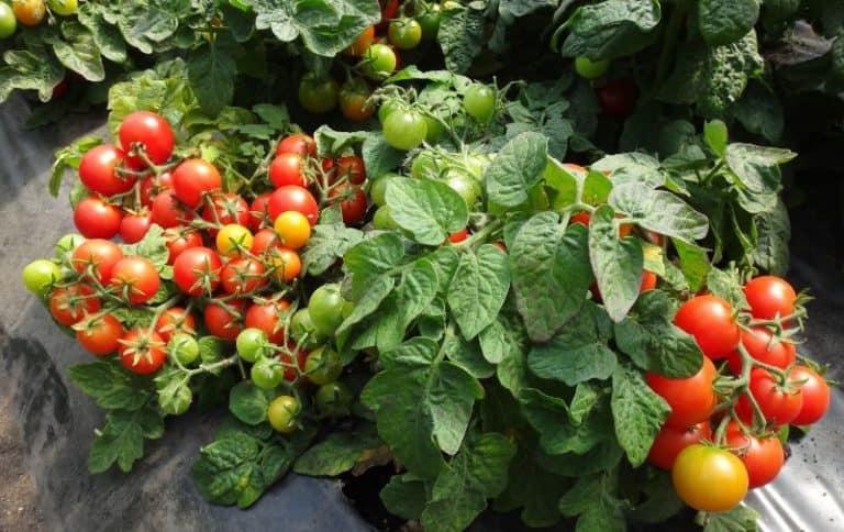 Томат Видимо-невидимо характеристика и описание сорта урожайность с фото