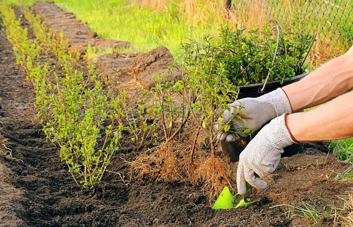 Как размножить боярышник черенками и семенами