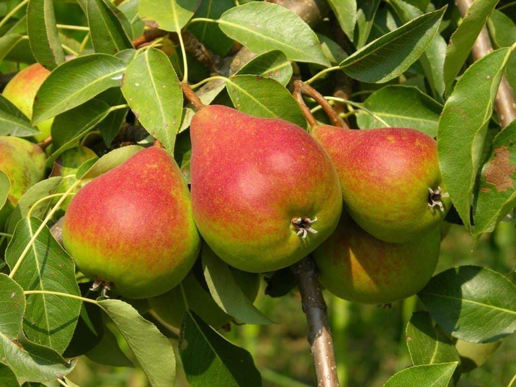 Груша Ника описание и характеристики сорта посадка и уход хранение урожая