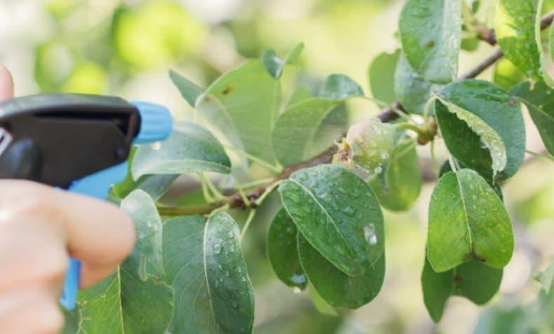 Парша яблони и груши - меры борьбы и лечения