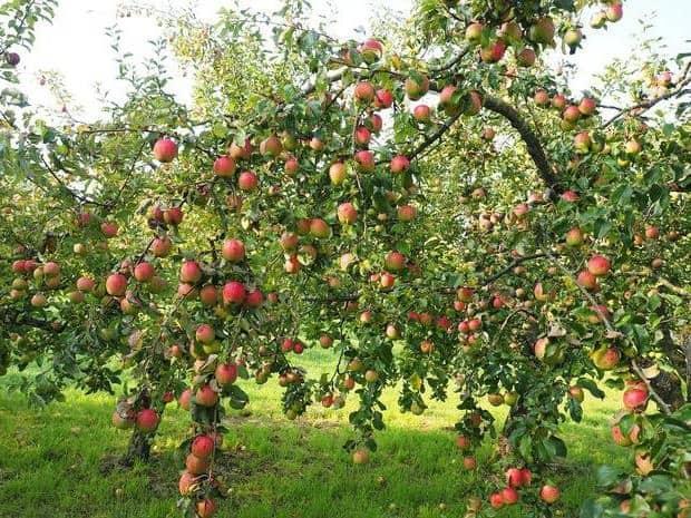 Яблоня скала описание сорта - Справочник дачника