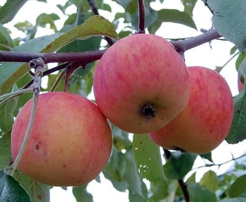 Описание сорта яблони Подарок садоводам