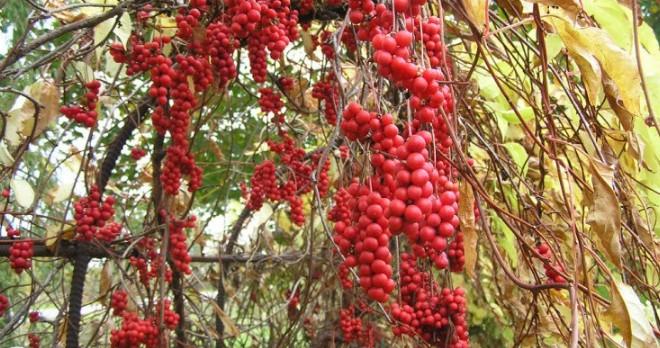 Ягоды лимонника китайского - выбор саженцев, правила посадки и ухода, применение ягод, видео