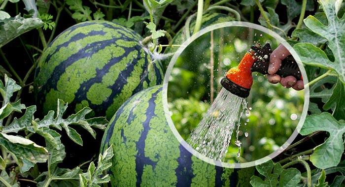 Как поливать арбузы в открытом грунте