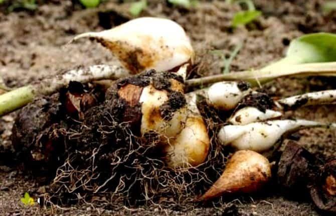 Посадка тюльпанов в открытый грунт осенью — несколько секретов