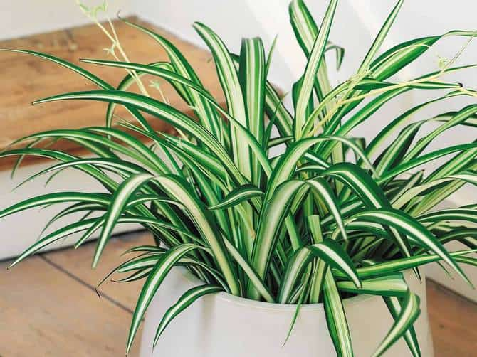Хлорофитум: желтеют и сохнут кончики листьев, что делать в домашних условиях
