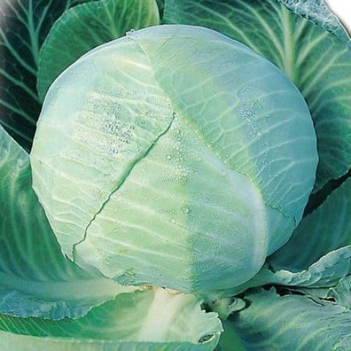 Описание сорта капусты Амагер особенности выращивания