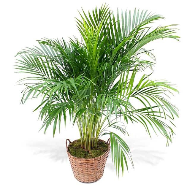 как пересаживать пальму в домашних условиях видео
