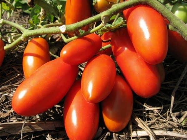 Томат гулливер характеристика и описание сорта урожайность с фото