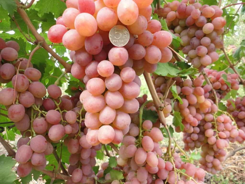 больше фото и описание винограда рута лесного массива будет