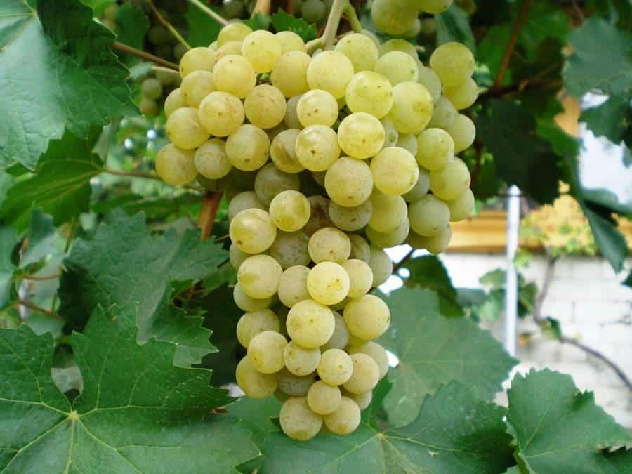 Виноград цитронный магарача описание сорта и характеристики выращивание