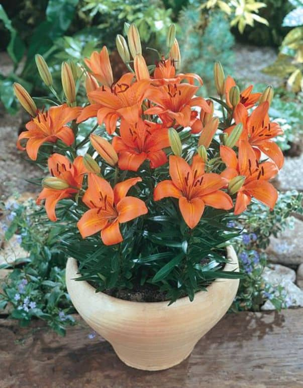 Горшечные лилии: выращивание и уход » посадка, уход, фото, как вырастить и собрать урожай