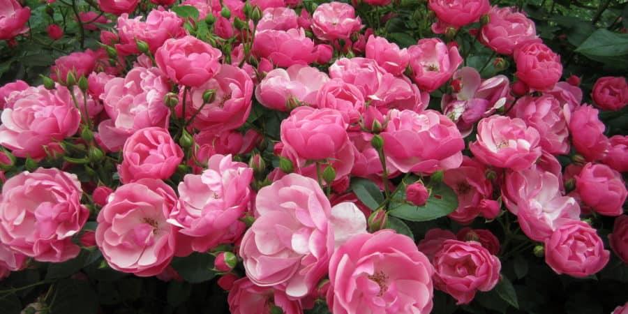 Роза посадка и уход в открытом грунте на урале