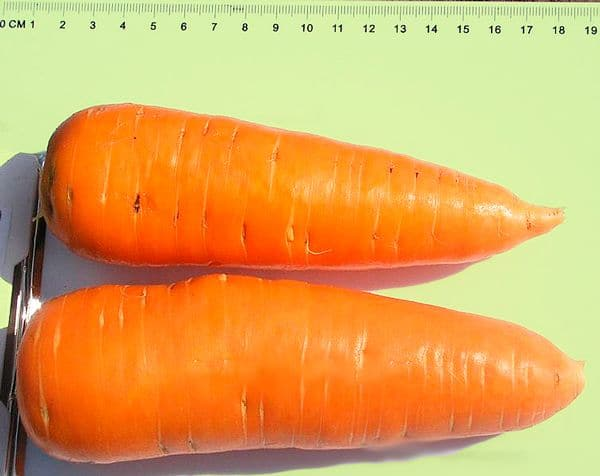 Сорт моркови Шантане, описание, характеристика и отзывы, а также особенности выращивания
