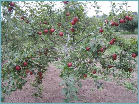 Яблоня коваленковское описание сорта