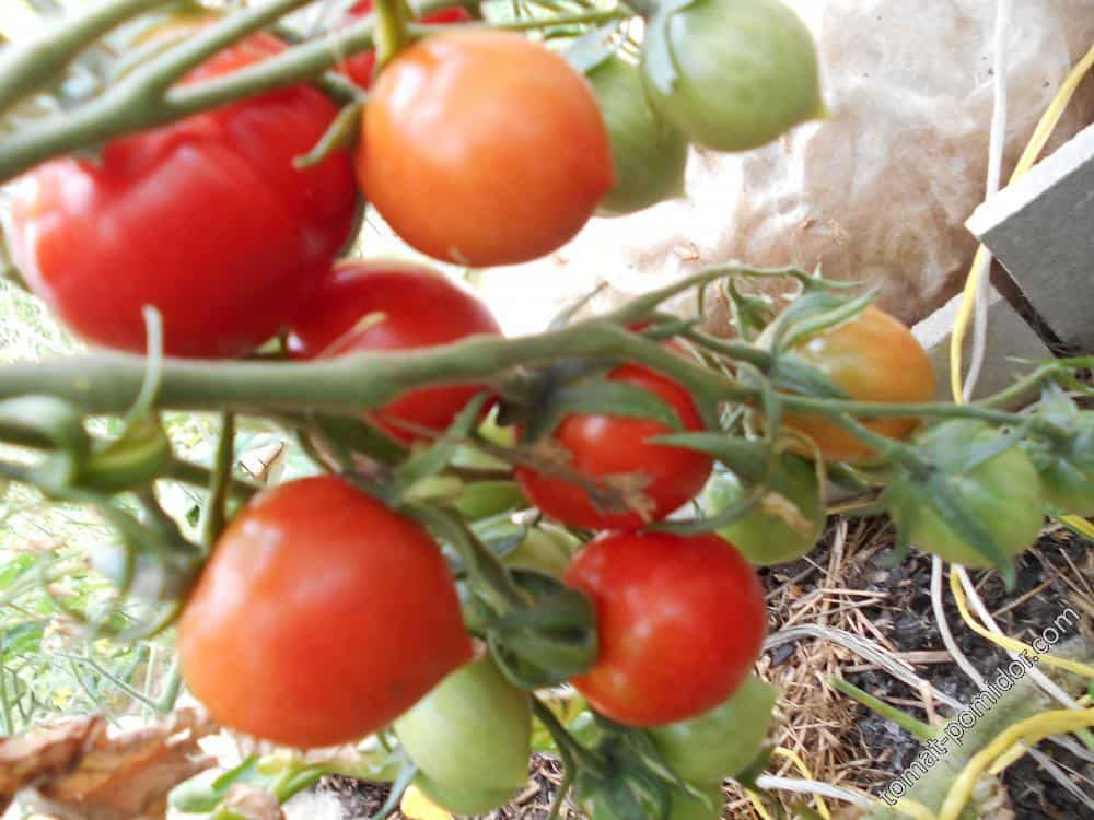 Сорт томата поцелуй герани