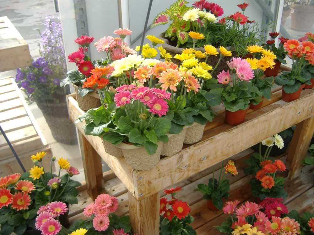 Узнайте, как вырастить герберу Джемсона в домашних условиях из семян