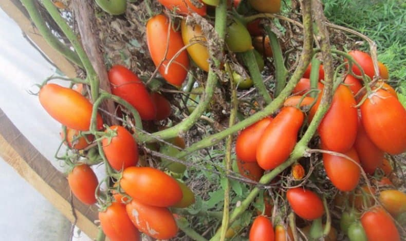 Томат ниагара отзывы фото урожайность
