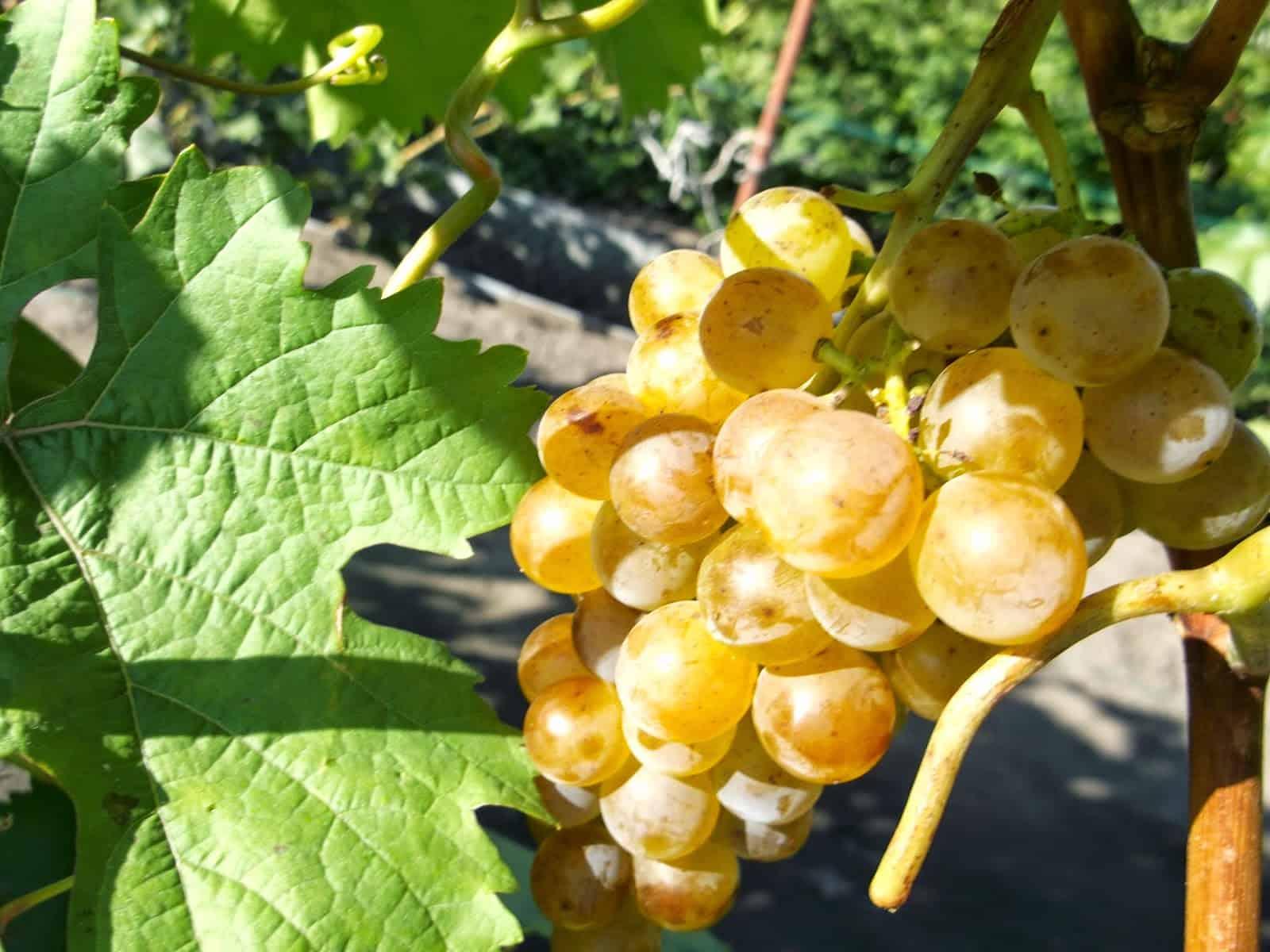 самый виноград русский янтарь фото спальни, большой