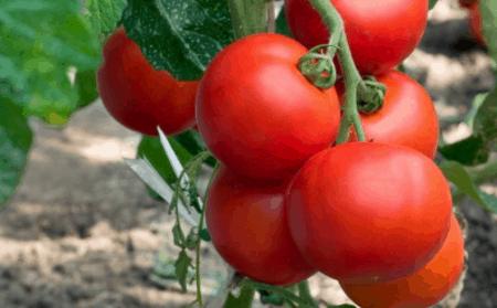 Томат Кумир: характеристика и описание сорта, как выращивать с фото