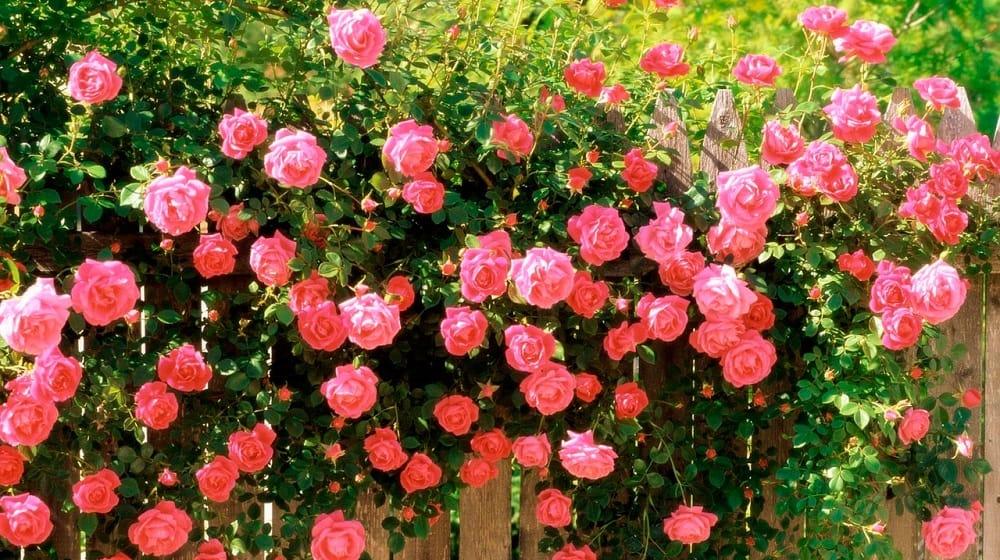 Розы укрывать при какой температуре. УКРЫТИЕ РОЗ НА ЗИМУ