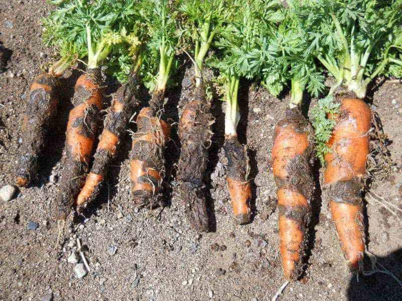 Болезни моркови и борьба с ними: профилактика, фото, видео