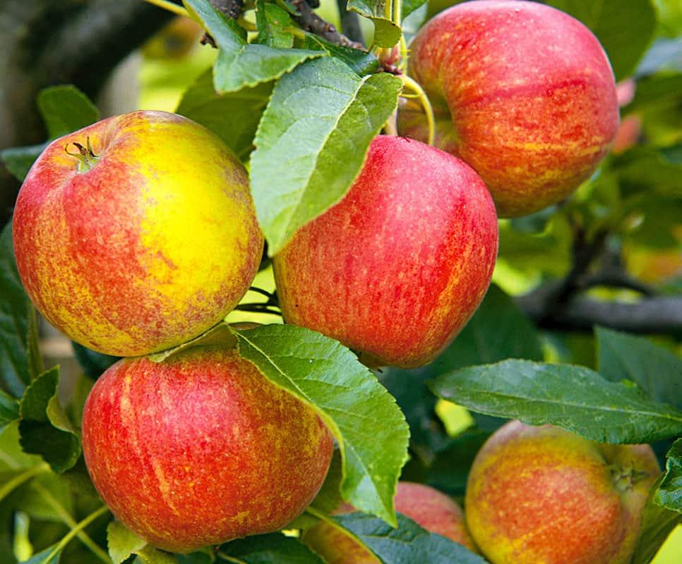 Агроном: Описание карликовой яблони сорта Приземленное в 2019 году