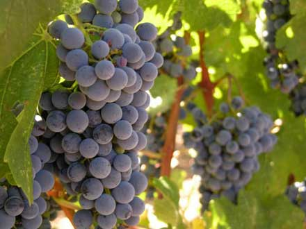 Виноград для начинающих сорта выращивание
