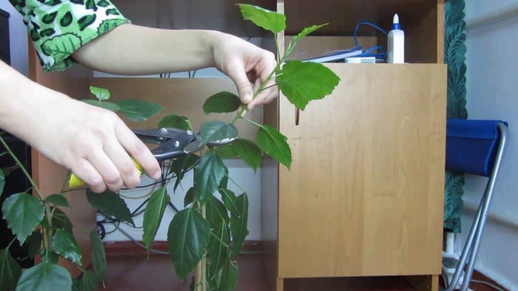 Как подрезать китайскую розу в домашних условиях, как правильно обрезать гибискус комнатный?