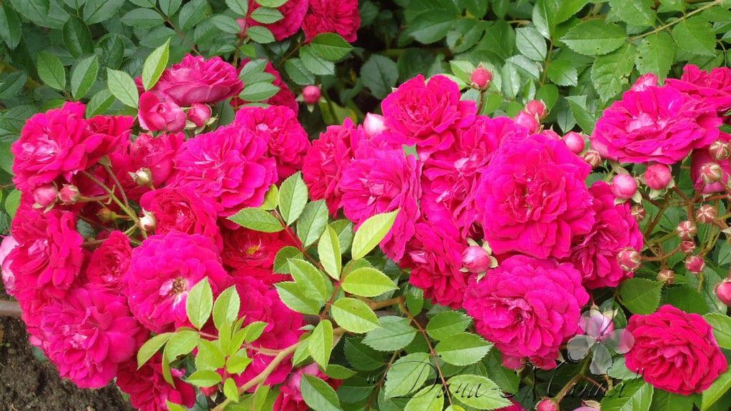 Как приготовить к зиме плетистую розу