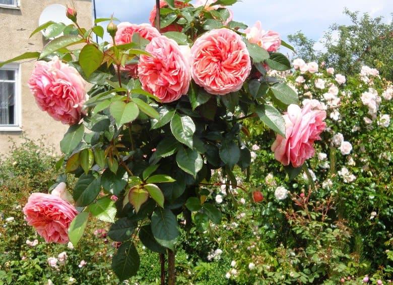 Прививка розы на шиповник летом