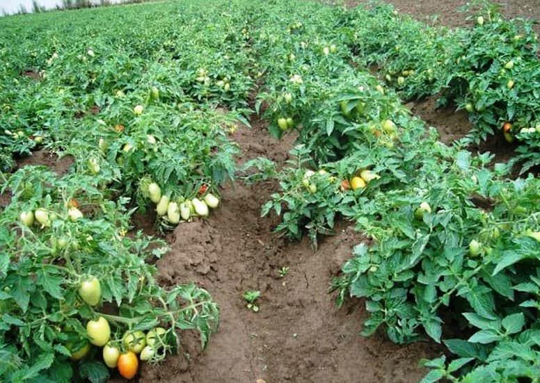 как правильно высаживать помидоры в открытый грунт