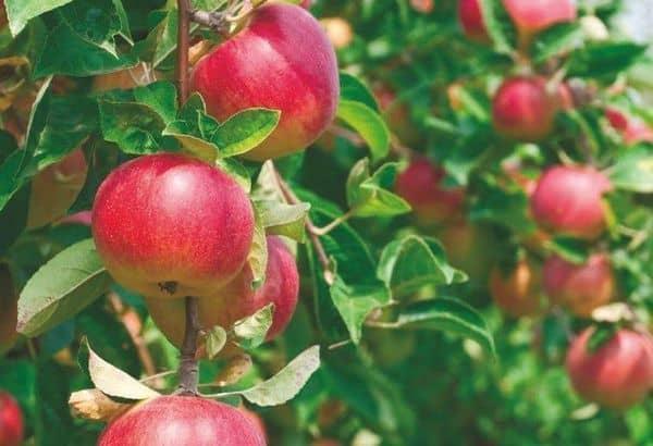Яблоки малиновка описание фото отзывы
