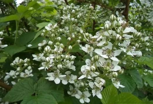 Описание и уход за сортом малины Абрикосовая