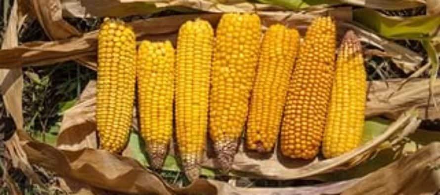 Урожайность кукурузы сколько можно собрать с 1 га