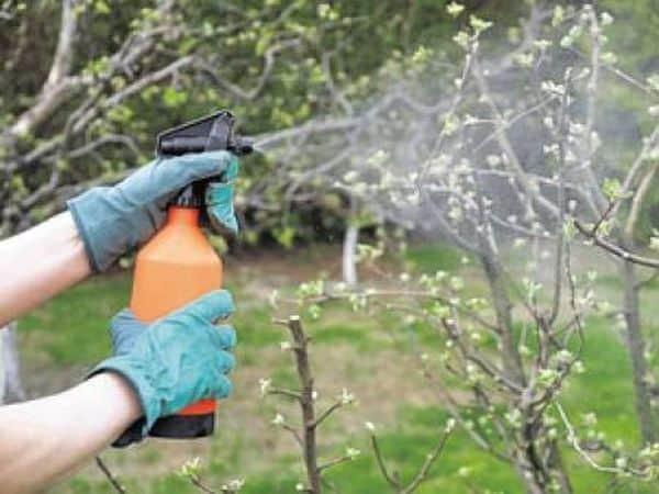 Болезни груши оранжевые пятна на листьях