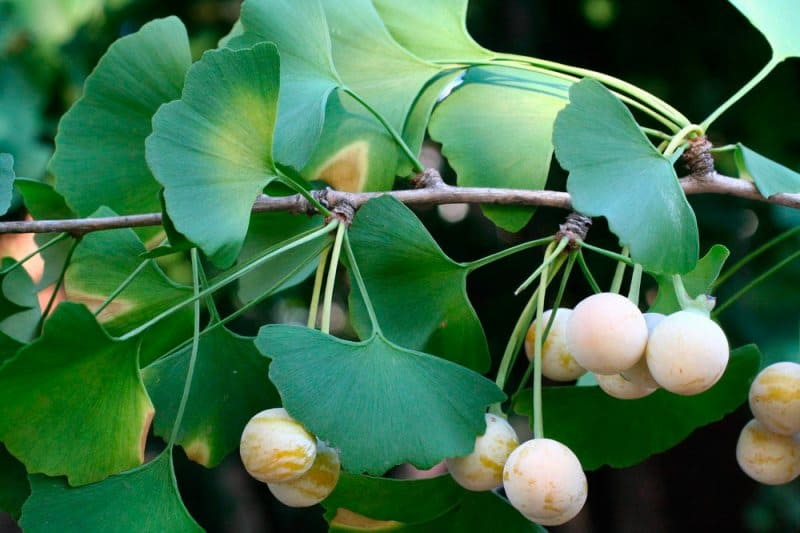 Растение гинкго билоба. История реликтового растения. Выбор места и освещение
