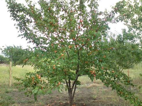 Уход за абрикосом в Средней полосе