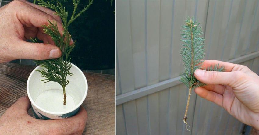 Укоренение черенков хвойных растений