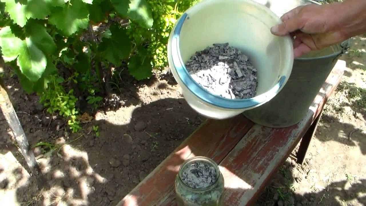 Виноград Дашуня: описание сорта и фото