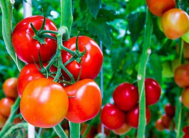 Томат сенсей характеристика и описание сорта как выращивать с фото