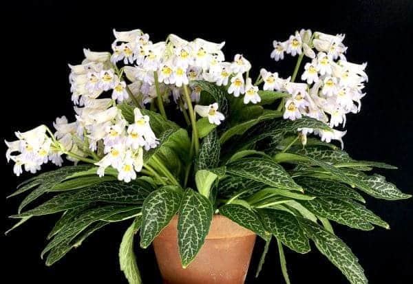 Ухаживаем за цветком хирита в домашних условиях. Хирита цветок уход и размножение в домашних условиях