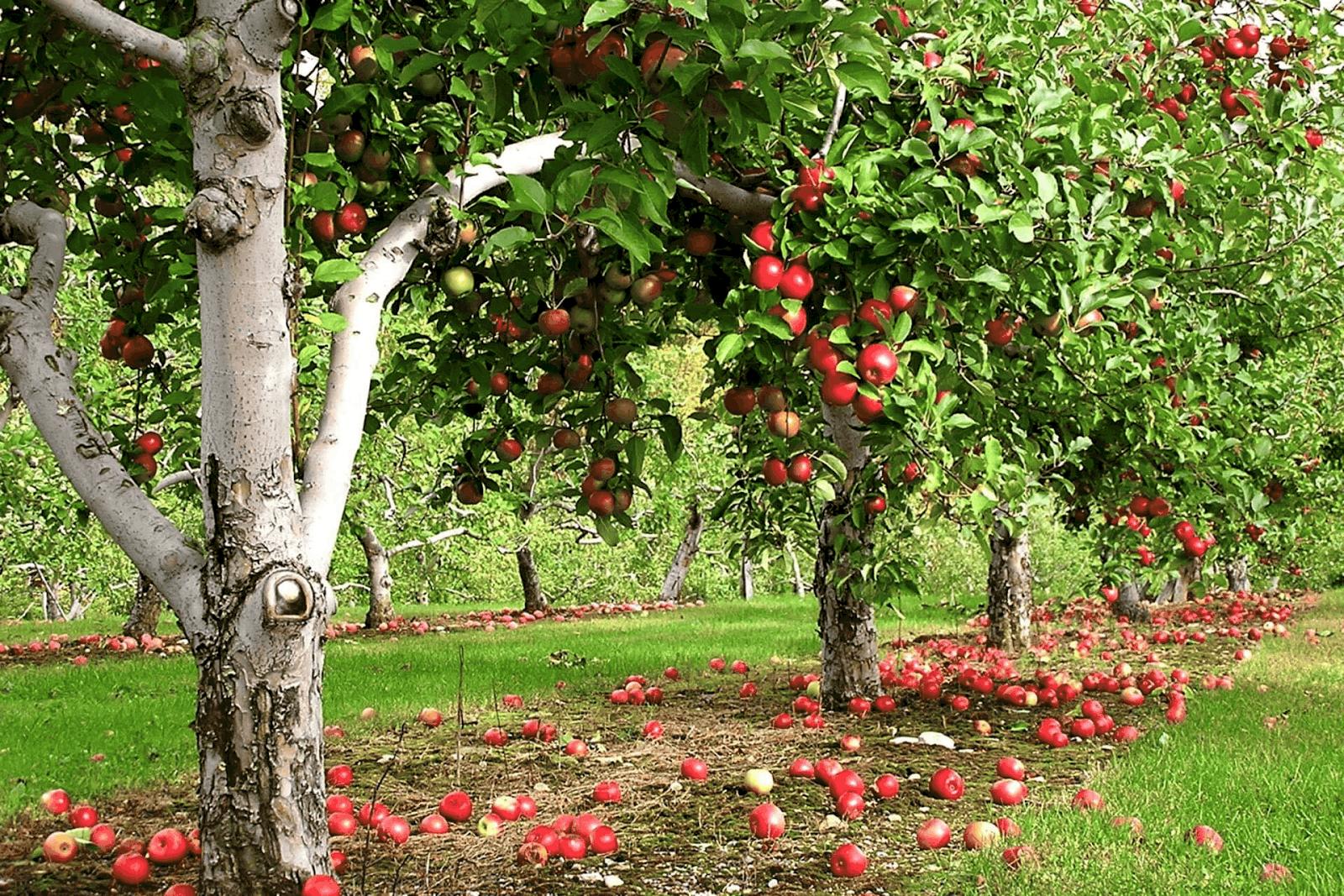 Как правильно посадить фруктовый сад фото классическую