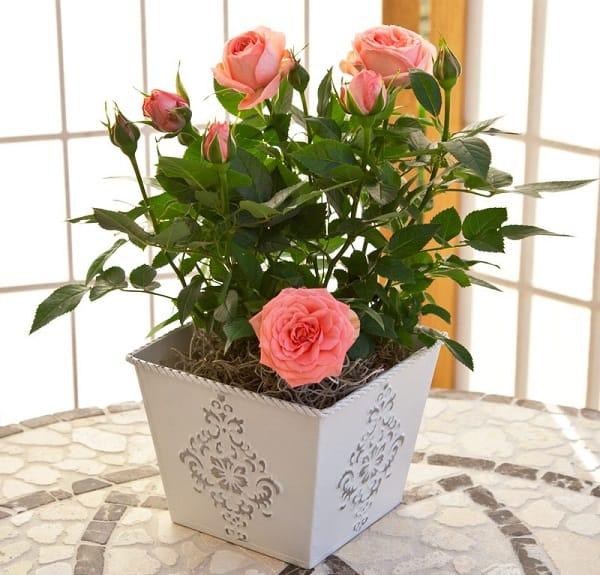 Роза в горшке: уход за комнатным цветком в домашних условиях